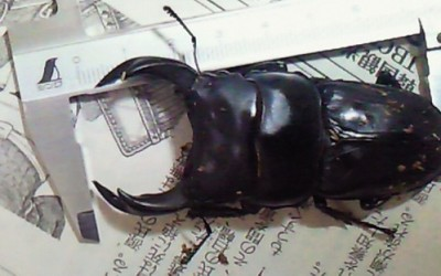 オオクワガタデータ飼育 -大きくなる幼虫は居食いをする幼虫-