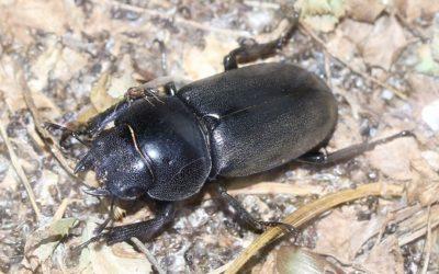 クワガタ、カブトムシ採集・飼育を親子で楽しむ -種類によって寿命が違う、越冬の仕方-