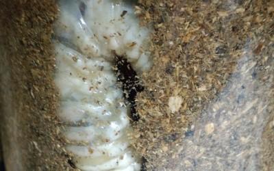 オオクワガタ飼育、マット飼育で安価に多くの大型個体を累代飼育