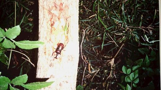 クワガタ、カブトムシ採集・飼育を親子で楽しむ -産卵場所と飼育用マットの違い-