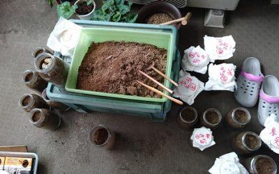 オオクワガタマット飼育 -フスマを使用する時の粉ダニの注意点-