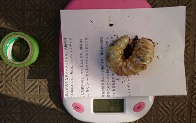 オオクワガタ(能勢YG血統)マット飼育-平成31年最初の3令エサ換え-