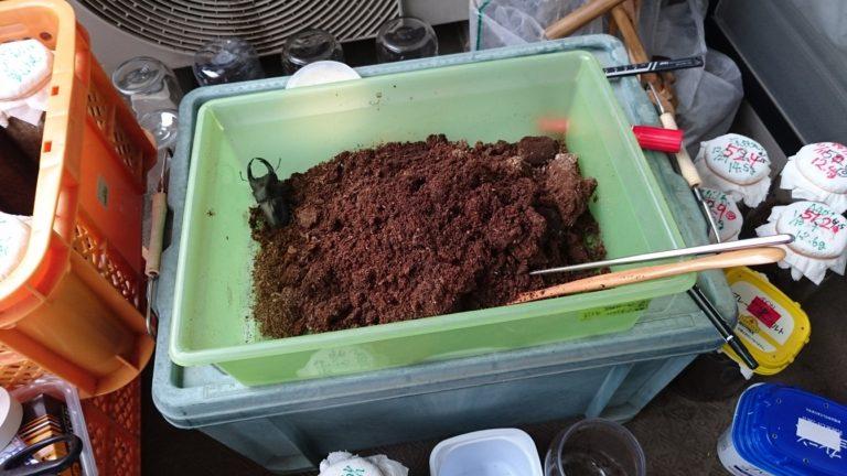 マット飼育で80ミリオーバーのオオクワガタ(能勢YG血統)をゲットする方法