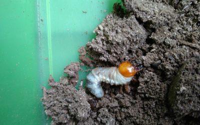 オオクワガタマット飼育エサ換えの時期―3令幼虫成長後1週間を基準に実施―